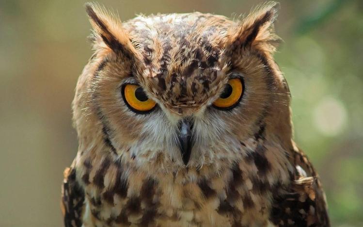 Cute Cheetah Wallpapers Great Horned Owl Windows 10 Theme Themepack Me