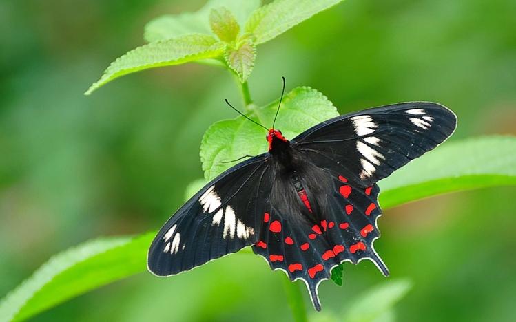 Cute Dachshund Wallpaper Butterfly Windows 10 Theme Themepack Me