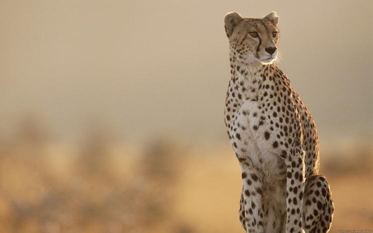 Make Custom Iphone 5 Wallpaper Cheetah Windows 10 Theme Themepack Me