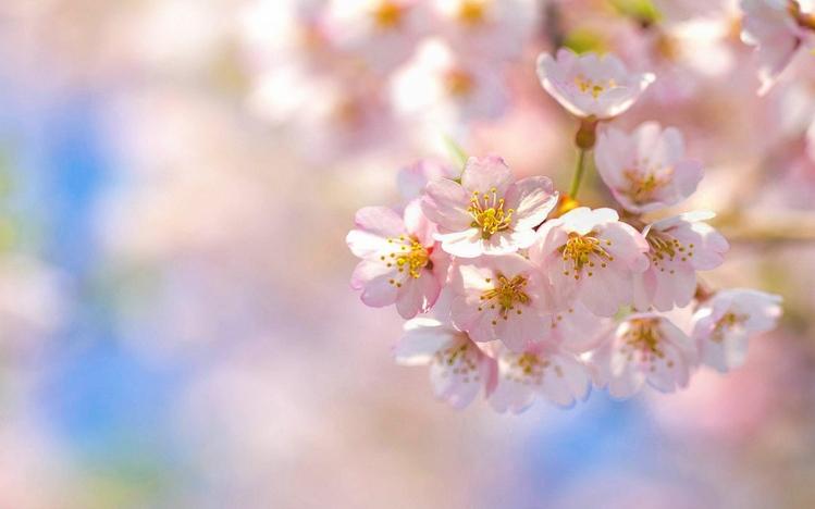 Fall In Japan Wallpaper Cherry Blossom Windows 10 Theme Themepack Me