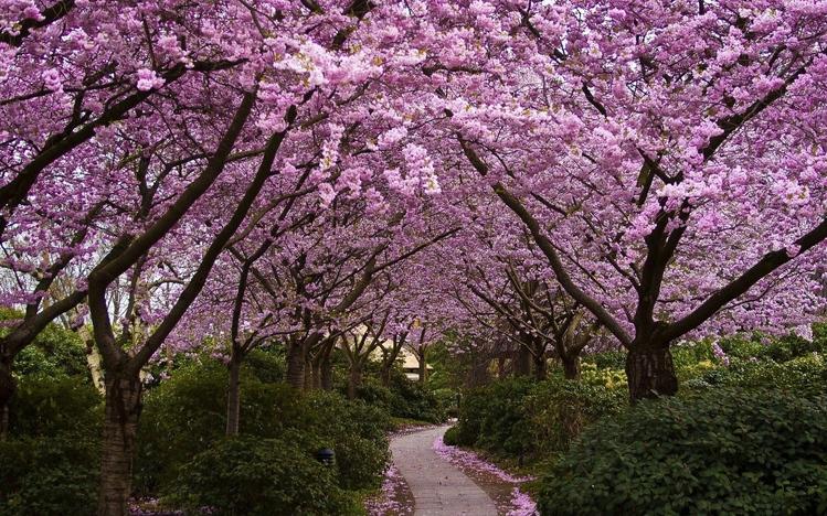 Anime Wallpaper Cherry Blossom Girl Cherry Blossom Windows 10 Theme Themepack Me