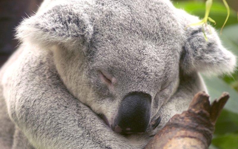 planck_koala_in_slaap_close_rd_0