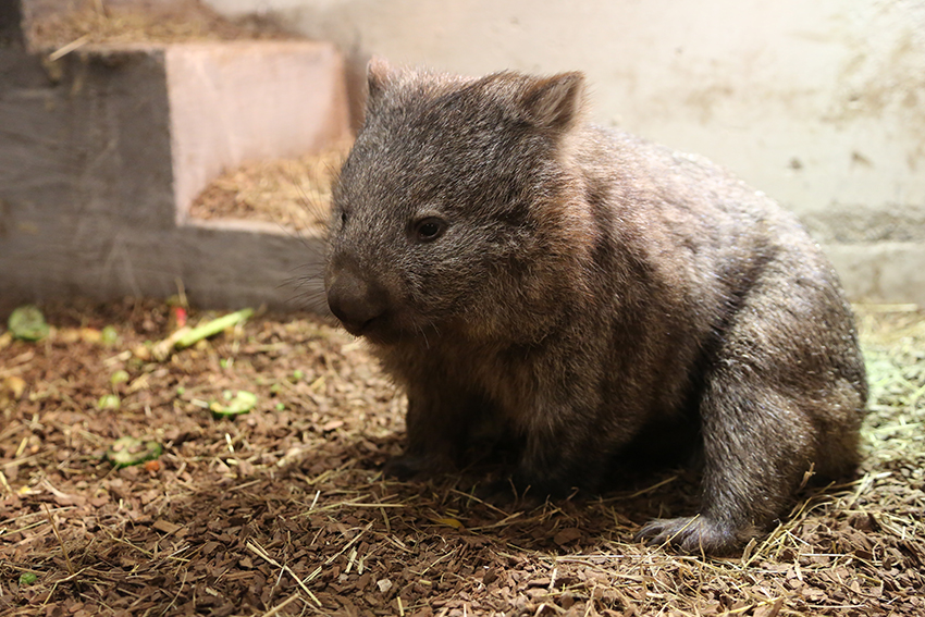 PDZ_wombat