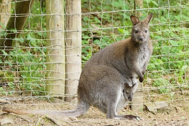 Wallaby_Kaenguru_Baby_Eifelpark_presse
