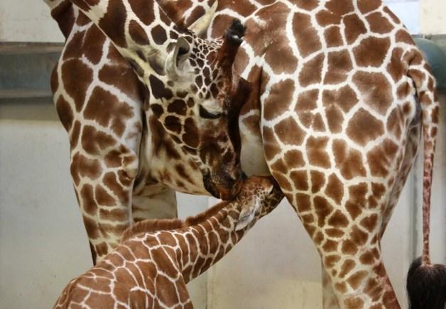 giraffeveulen-drinkt-bij-de-moeder