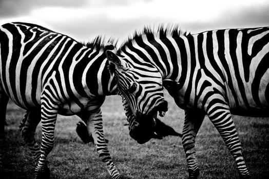 Clashing zebras