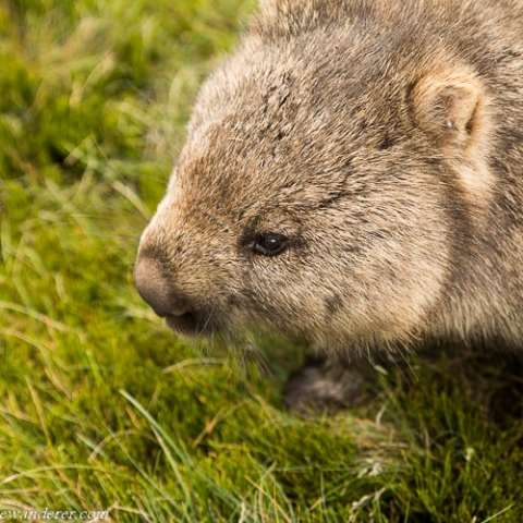 Wombats – A Photo Gallery