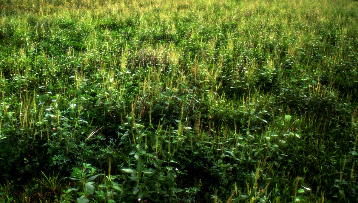 What is Ragweed and Why is it Killing Me?