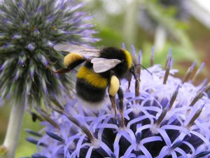 White Tailed Bumblebee Queen