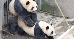 I Millennial fanno meno sesso dei panda. Chi si estinguerà prima?