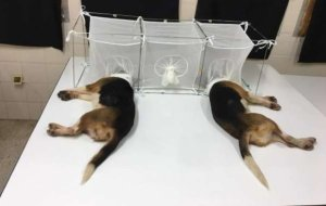 FINALLY MAKING HEADLINES: As TGP Reported in August — Dr. Fauci Used Taxpayer Money to Have Dogs Tortured and Eaten Alive By Parasite-Infected Flies (PHOTOS)Cassandra Fairbanks