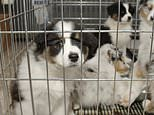 Australian council slaughters 15 dogs including newborn puppies in Covid blunder