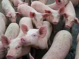 Ministers move to save Christmas with U-turn over foreign butchers to avoid mass pig cull