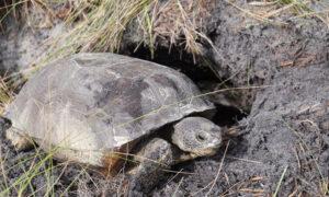It's Relocation, Relocation, Relocation for Florida's Threatened Tortoises