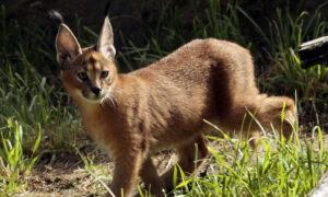 Large African Cat Escapes Owner, Prowls Detroit Suburb