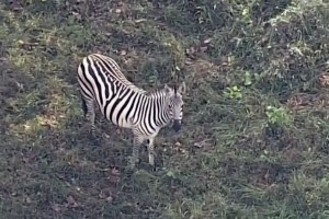 Zebra that broke out of Maryland farm found dead in illegal snare trap