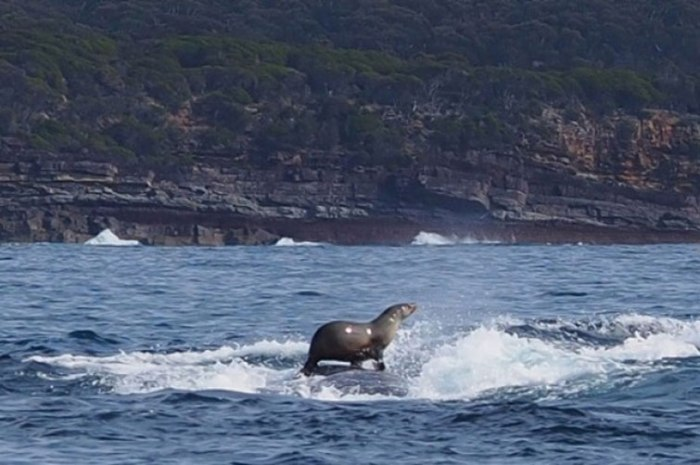 Check Out This Seal Riding A Whale