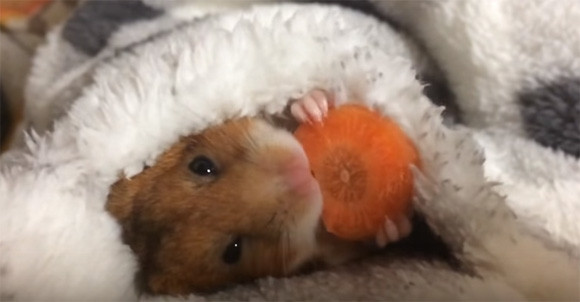 This Hamster Eating Its Late Night Snack In Cozy Bed Will Make You Green With Envy