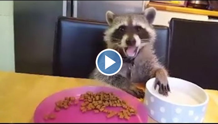 Baby Raccoon Helps His Mom Through The Hard Days