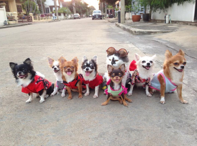 7 Chihuahuas and a Cat Make up the Only Gang You'll Ever Want to Be a Part