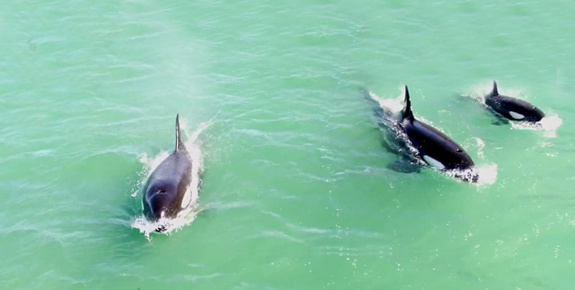 Drone Captures Stunning Overhead Footage of Killer Whale Pod