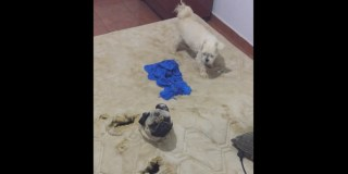 Pugs Gotta Play. Doggie Mattress Tunnels