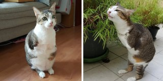 Cat With Two Legs Will Surprise You With How Much He Can Do