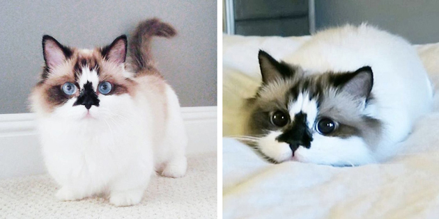 """Meet Albert, The Cutest Munchkin Cat With Unique """"Skull"""" Nose And 450,000 Followers"""