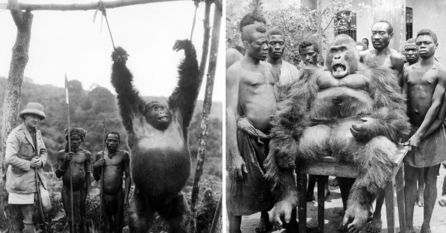 The Last Of The Kings: Very Sad Photos Of The Hard Life Of Congolese Gorillas