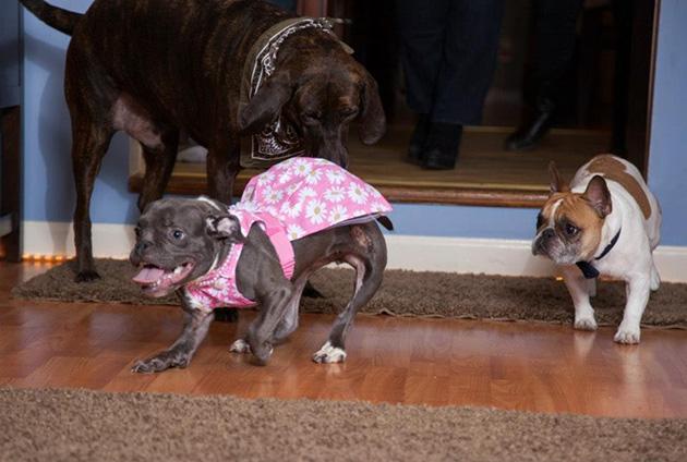 pit bull dwarfism