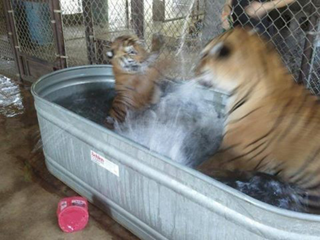 tiger cub rescued from circus