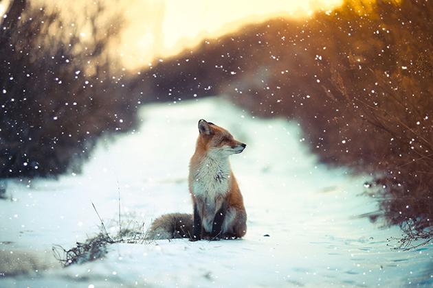 Winter Fox Photos