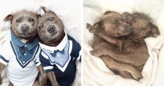 Adorable Pit Bull Brothers Will Instantly Make Your Day Better