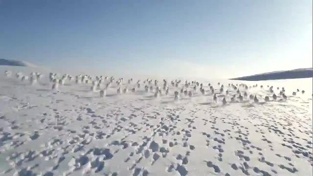 Massive Herd Of Wild Rabbits Cross Snowmobile's Path