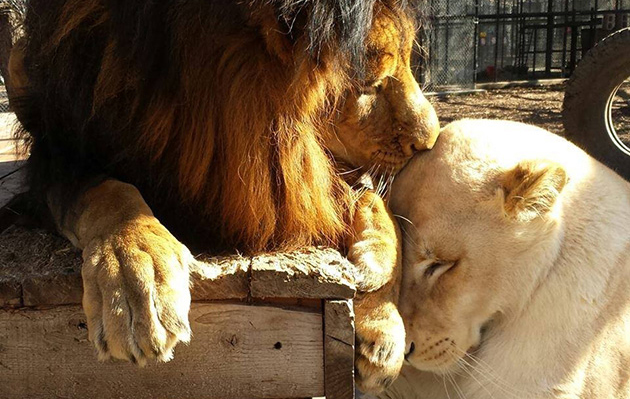 Lion Was So Sick She Almost Died — But Then She Found Love