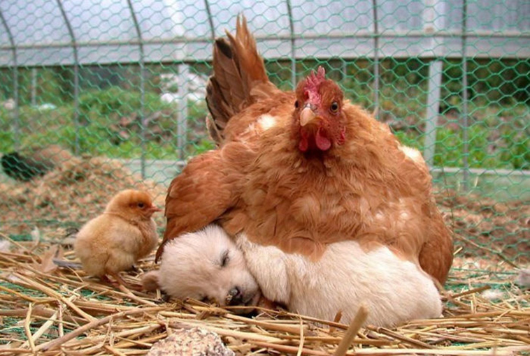 hens-adopt-animals