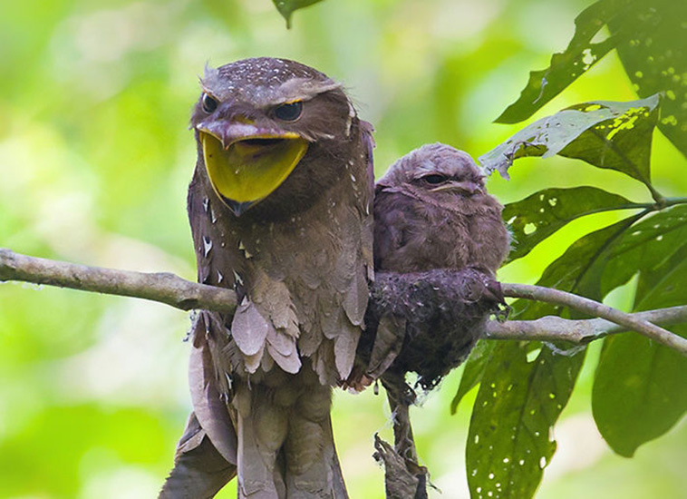frogmouth birds cute babies