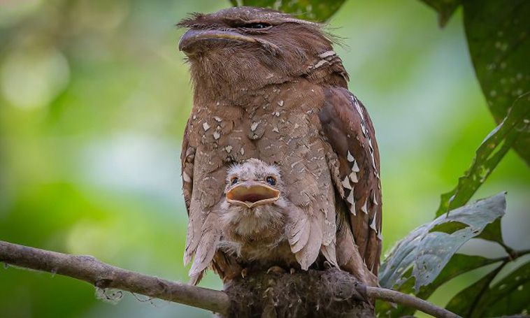 frogmouth birds babies