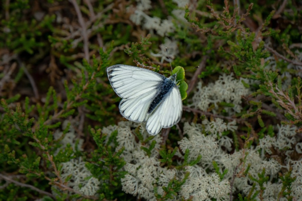 white butterfly meaning i.e. what does a white butterfly mean