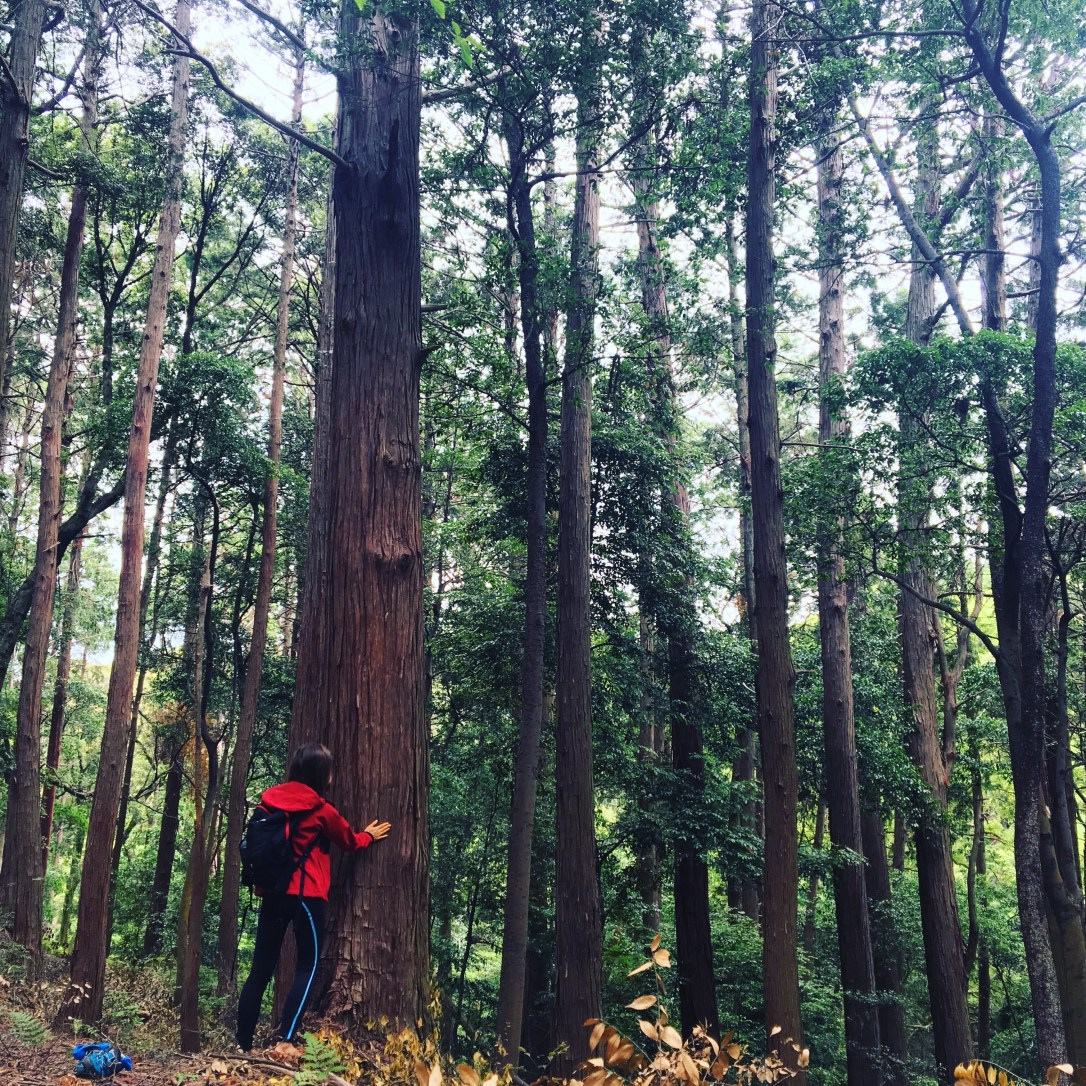 Forest bathing medicine is practiced is Japan. A woman touching a tall tree among many trees in the forest.