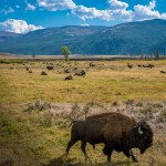 Yellowstone National Park - Bison in Lamar Valley
