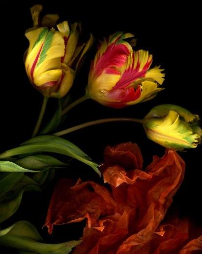 Three parrot tulips