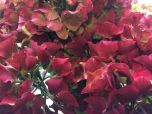 Vibrant hydrangeas