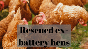 ex-battery hens rehomed