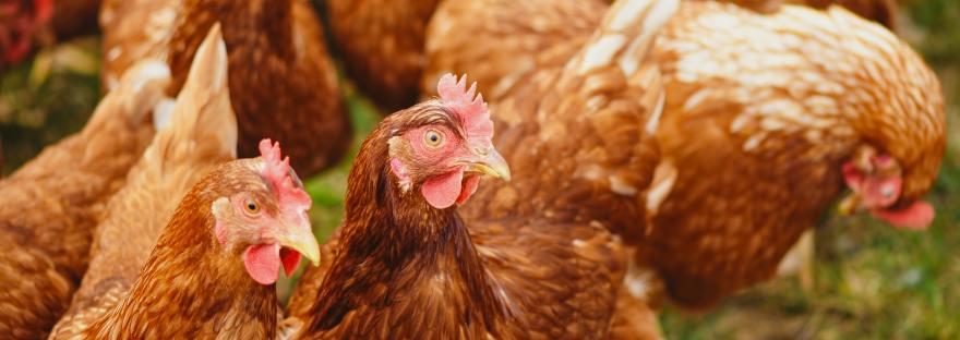 ex-battery hens