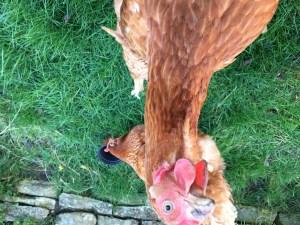 confident ex battery hens