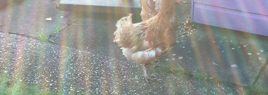 buy chickens