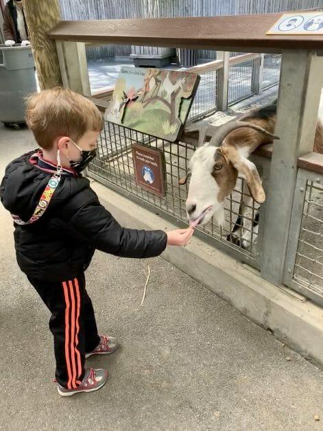 A little boy feeding a goat at The Bronx Zoo