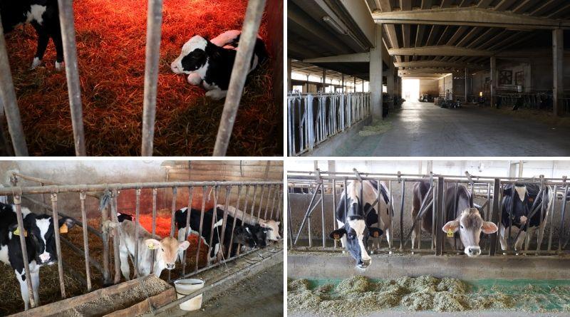 stalla della società agricola Giansanti di Muzio - the minutes fly - mucche da latte - formaggio parmigiano reggiano