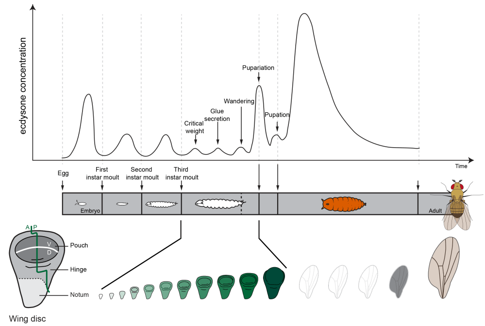 medium resolution of pulses of the developmental hormone ecdysone induce the moults between larval stages and metamorphosis the timing of these pulses depends on environmental